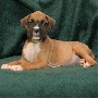 Cute boxer Puppies for Free Adoption