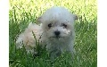 Maltipoo Fluffball Puppies* 8 weeks old now *