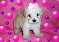 Micro & Tcup Maltipoo Puppies